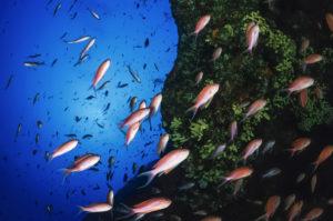 Fischschwärme Mafia Bucht Steilwand