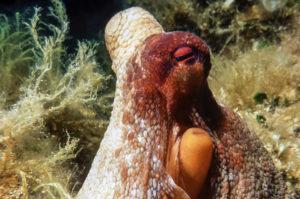 Oktopus am Tauchplatz Geierfels